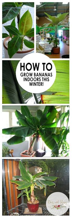 They my not have a chapter on how to keep a TVR from picking them. :) How to Grow Bananas Indoors This Winter! gardening indoor How to Grow Bananas Indoors This Winter! ~ Bees and Roses Backyard Garden Design, Backyard Landscaping, Backyard Ideas, Pool Ideas, Landscaping Ideas, Rustic Backyard, Landscaping Software, Garden Care, Fruit Garden