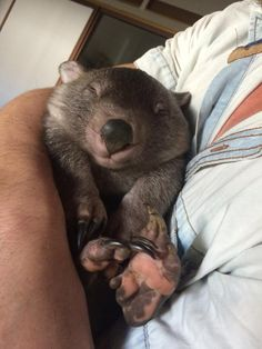 There really ought to be a Wombat Day.