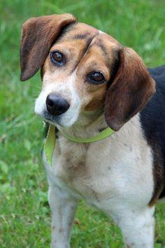 Raney - Beagle mix - 4 yrs old - Female - Ashland County Dog Shelter - Ashland, OH. Cute beagle.