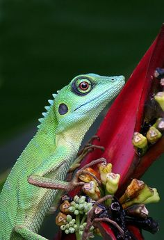 tiny-creatures: Green Crested Lizard