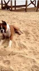 This dog knows how to rock out no matter how hot it gets. | 12 Animals Totally Nailing Their Beach Vacations
