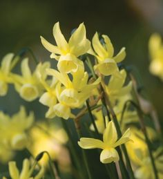 Narcissi 'Hawera' is one of the latest flowering narcissus you can grow. With elegant little primrose yellow flowers and an incredible scent.