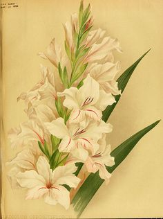 Gladiolus oppositiflorus - circa 1894   From our collection …   Flickr