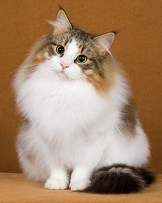 Norwegian Forest Cat.  What a love.