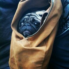 Pug in a bag