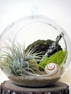 """Tillandsias or """"air plants"""" are perfect low maintenance plants. They do not require soil to grow and prosper. They simply need bright, indirect light and a good soaking (in a bowl or under a faucet once a week). Allow the tillandsia to fully dry prior to placing it back in it's container."""
