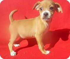richmond, VA - Chihuahua/Miniature Pinscher Mix. Meet KAYLA a Puppy for Adoption.