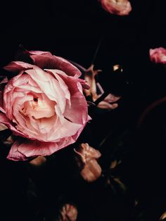 photography, flower, pink, black,