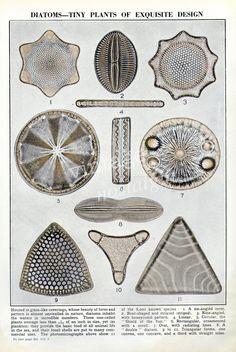 Microscopic Sea Life illustration Diatoms geology, fossils vintage scientific illustration marine life. $9.95, via Etsy.