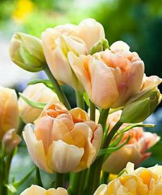 Charming beauty tulip
