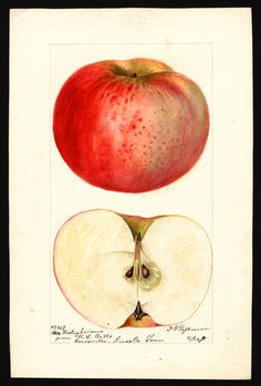 Apple - Bietigheimer (1895). llustration by Deborah Griscom Passmore (1840-1911).      Image and text courtesy U.S. Department of Agriculture Pomological Watercolor Collection. Rare and Special Collections, National Agricultural Library, Beltsville, MD 20705