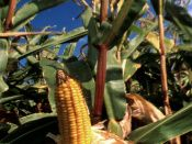 """Controversy flares over """"Agent Orange corn"""" -   The genetically-modified vegetable is protected from a herbicide that kills so-called super-weeds, but is linked to the notorious """"Agent Orange"""" used in Vietnam."""