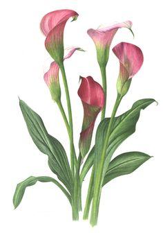 Zantedeschia rehmanii