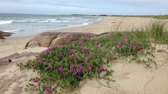 - Brusand i Hå. - Foto: Brit Nilsson Edland sand dunes - with floral Norway Nature, Beach, Water, Floral, Plants, Outdoor, Photo Illustration, Gripe Water, Outdoors