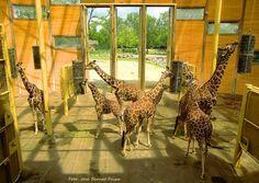 Giraffen, Blijdorp Rotterdam