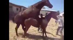 El apareamiento y la reproducción de caballos