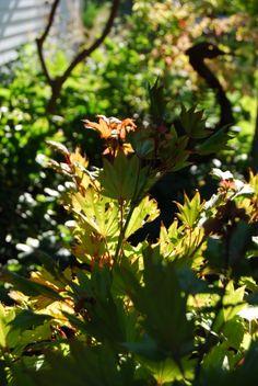 Acer shirasawanum 'Aureum' showing off his Fall colours
