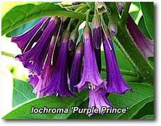 Iochroma Purple Prince