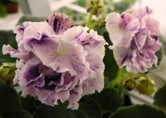African Violet (saintpaulia) plant LE-AISEDORA - fantasy! ~ Beautiful baby plant from leaf.  This variety produced 3 babies.  One I gave to a friend.  One I sold.  One I kept.  Russian from Poland.   My favorite.