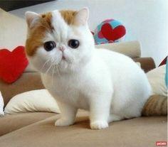 Exotic Shorthair kedileri