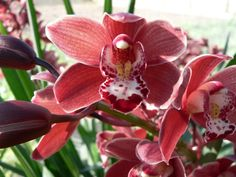 Red Orchid Flower Pictures