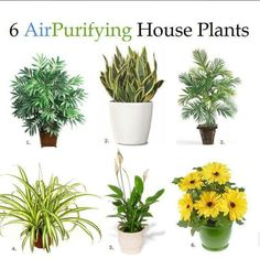 "These plants are especially good at being ""air filters"" which is great for someone with asthma, allergies, or just likes the idea…  Bamboo Palm, Snake Plant, Areca Palm, Spider Plant, Peace Lily, and Gerbera Daisies"