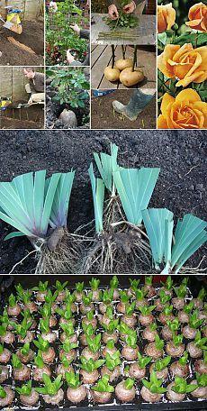 Размножение садовых цветов: розы, ирисы, лилии