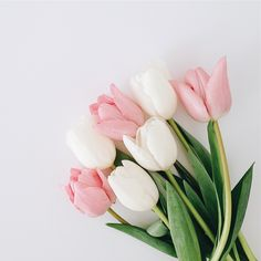 garden care photos tulips garden care winterboners for White Tulips, Pink Tulips, Tulips Flowers, Spring Flowers, Light Pink Flowers, Flower Backgrounds, Flower Wallpaper, Tulips Garden, Planting Flowers