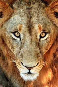 Lion  Zaw Zaw Tun