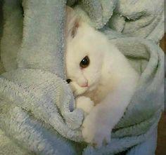 Albino Cats Are Not Just White Cats - Katzen bilder - Pretty Cats, Beautiful Cats, Hello Beautiful, Beautiful Family, Cute Kittens, Cats And Kittens, Ragdoll Kittens, Bengal Cats, Siamese Cats