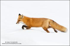 Red Fox hunting in deep snow by Greg Schneider on 500px  Red foxes live around the world in many diverse habitats including forests, grasslands, mountains, and deserts. They also adapt well to human environments such as farms, suburban areas, and even large communities. The red fox's resourcefulness has earned it a legendary reputation for intelligence and cunning.
