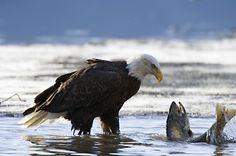 Bald Eagle and Salmon, Tongass National Forest, Alaska