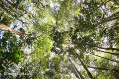 Free rainforest information for kids and teachers. Includes maps, pictures, and interviews with scientists Daintree Rainforest, Tropical Forest, Forest Floor, Canopy Outdoor, Biomes, Borneo, How To Level Ground, Trees To Plant