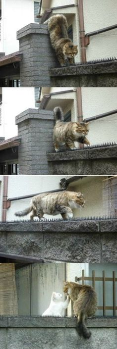 Cat Who Will Do Anything For His Love