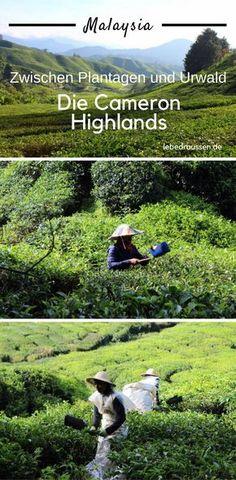Zwischen Plantagen und dem Urwald befinden sich die Cameron Highlands. Eine wundervolle Sehenswürdigkeit in Malaysia, in der man nicht nur Tee trinken sondern auch herrlich wandern kann. #asien #reise #reisen #travel #travelblogger #reiseblogger #malaysia #cameron #tee #plantage #wandern #hiking #trekking