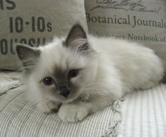 """Familienzuwachs"" (German for ""Addition to the family"")  ~ ""We got a new kitty. His name is Yoki & he's 14 wks old. Such a cute cuddly little boy. We love him so much! PS. He's a Sacred Birman cat (blue point), not a Ragdoll!"" 