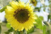 Randy Roberts Art - Sunflower by Randy Roberts