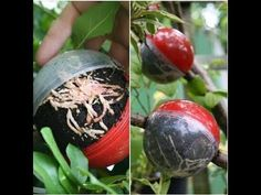 Air layering trees / magnolia /Gardening /propagation /how to Free Plants, All Plants, Air Layering, P Garden, Propagation, Houseplants, Compost, Magnolia, Nursery