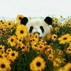 in Panda Nature Animals Cute Wildlife Panda Day, Panda Love, Cute Baby Animals, Animals And Pets, Nature Animals, Photo Panda, Image Panda, Panda Mignon, Panda Costumes
