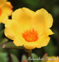 Detalle de la flor de la Verdolaga, Portulaca oleracea