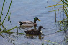 Ducks! by xylittina #nature #mothernature #travel #traveling #vacation #visiting #trip #holiday #tourism #tourist #photooftheday #amazing #picoftheday