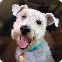 Lenoir, NC - Miniature Schnauzer/Terrier (Unknown Type, Medium) Mix. Meet MAXWELL (SRC#1659) IN NC a Puppy for Adoption.Max was placed twice in a short period of time by the shelter where he was brought as a stray.  Neither home worked out because although he appeared as a sweet cuddly puppy, Max had never been taught manners...I'm being cared for by: Schnauzer Rescue of the Carolinas Inc