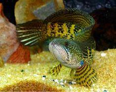 40 Ide Channa Gabus Ikan Ikan Akuarium Gabus