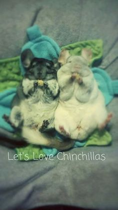 Super cute chinchillas enjoying some treats and chinchillin' on their backs. :)