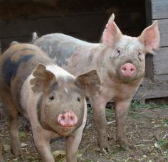 """Blue butt pigs ? Could that be """"Si"""" on the right?"""