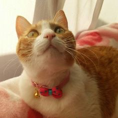ミカンの首輪を新調しました。リボンが🎀可愛いですよ〜😺😽🍊 #ふわもこ部 #ネコスタグラム #ねこ #猫 #愛猫 #大好き #ねこ部 #meow #cat #cats #catstagram #kitten #kitty #kittens #pet #pets #animal #animals #petstagram #petsagram #catsofinstagram #instagramcats #nature #catoftheday #lovecats