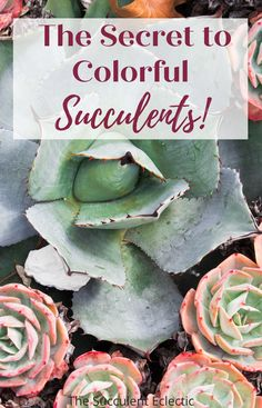 Have you ever bought a wonderfully colorful succulent - only to have it turn dull and green? Learn ALL about the secret to colorful succulents - and how to make any succulent more colorful! #succulents #colorfulsucculents #succulentstress #succulentcare Colorful Succulents, Planting Succulents, Succulent Care, Garden Spaces, Indoor Plants, House Plants, The Secret, Stress, Green