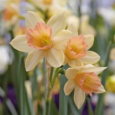 Narcissus 'Blushing Lady' - Daffodil Bulbs - Thompson & Morgan This is the flower that Narcissus turns into Daffodil Bulbs, Bulb Flowers, Daffodils, Daffodil Flowers, Daffodil Craft, Daffodil Wedding, Blooming Flowers, Cactus Flower, Birth Flowers