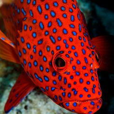 Polka Dots - Cocos (Keeling) Islands