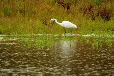Egret in the rain by Gerrit Kuyvenhoven on YouPic